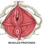 anatomie muscles profonds périnée
