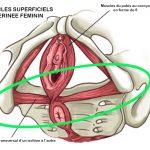 anatomie périnée avec repère vert